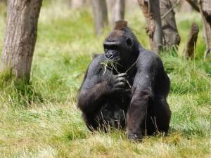 About lowland Gorillas